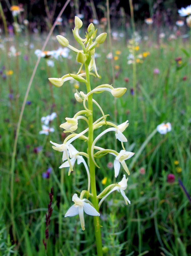Orchideenwiesen Andechs (16)