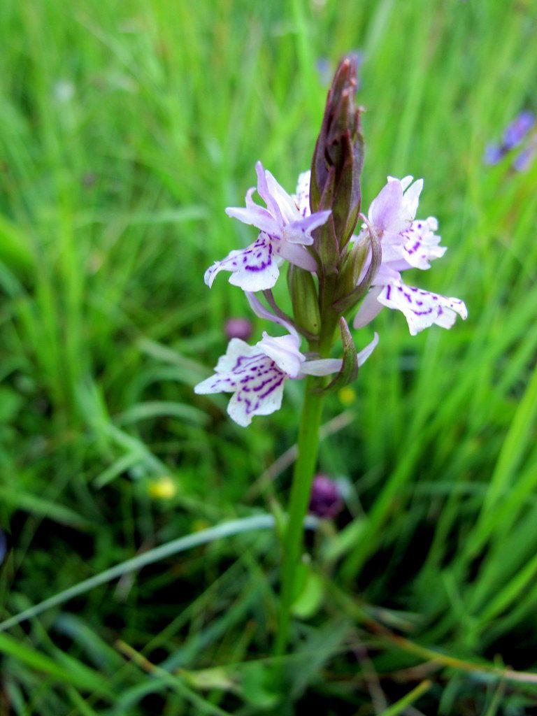 Orchideenwiesen Andechs (21)