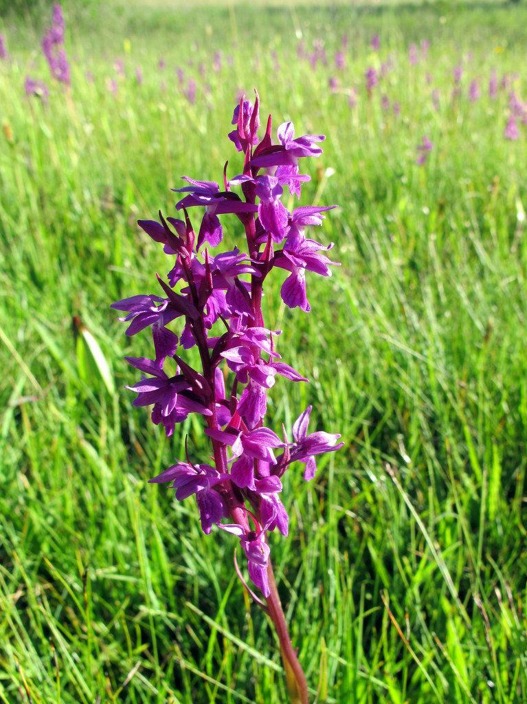 Orchideenwiesen Andechs (28)