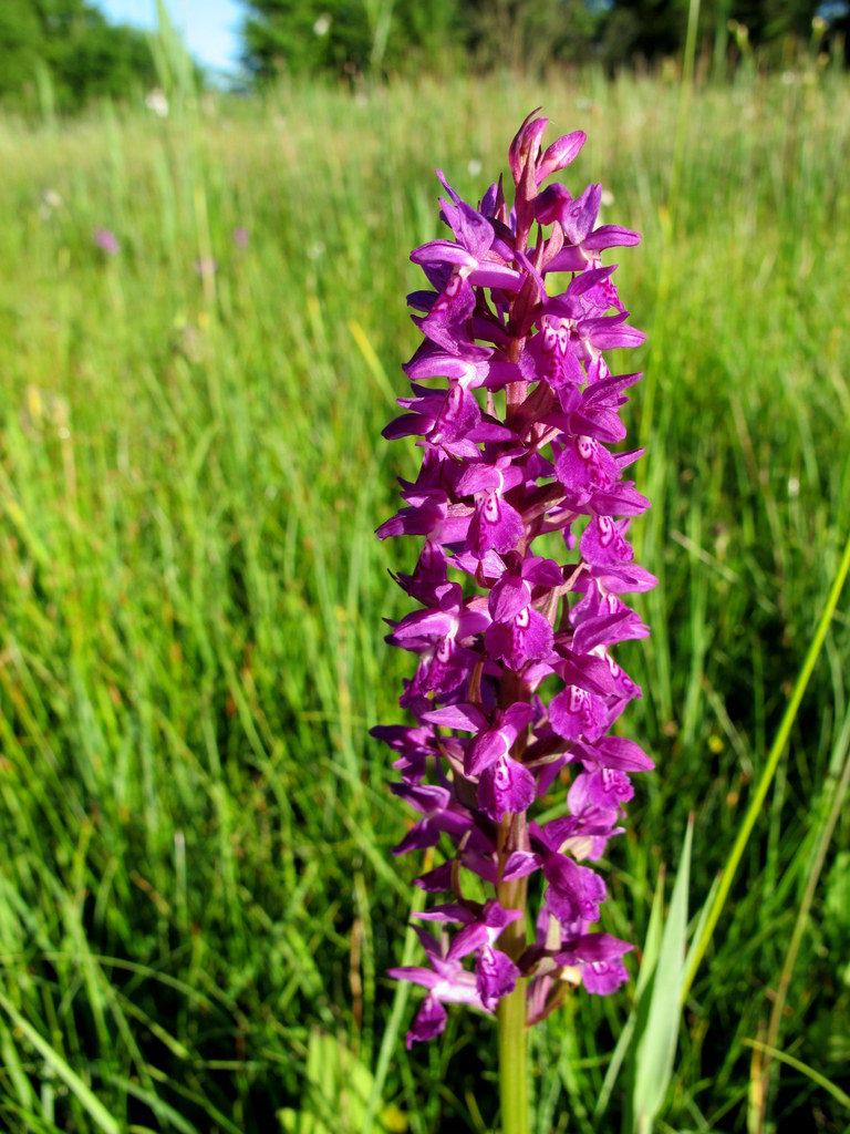 Orchideenwiesen Andechs (34)