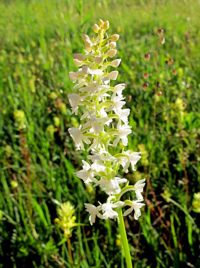 Orchideenwiesen Andechs (47)