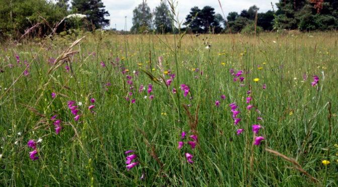 Königsbrunner Heide zur Orchideenblüte