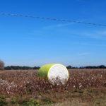 Baumwollfelder